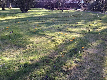 Post image for A Crocus Labyrinth